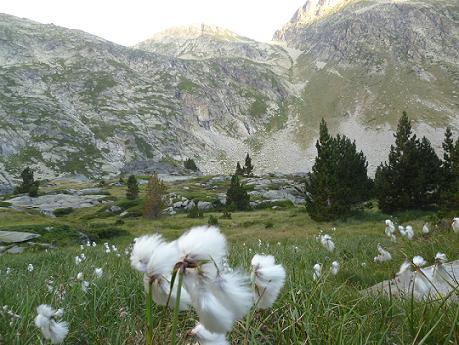 Linaigrettes dans la descente vers le ruisseau de Cap de Long, face à la Hourquette de Buagrret