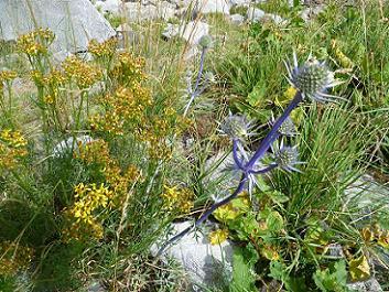 Panicaut de Burgat ou Chardon Bleu des Pyrénées en bordure du Barranco del Arriel