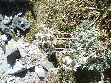 Edelweiss à 3000 mètres