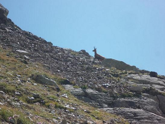 Isard près du Gorg Helado