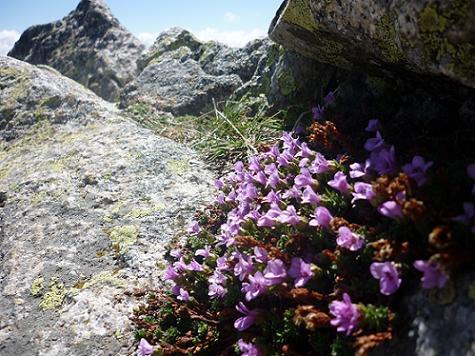 Fleurs au sommet du Besiberri Sud 3030 m