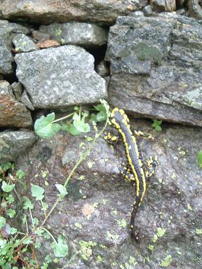 Salamandre dans les gorges de Clarabide