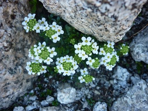Fleurs à 2750 m