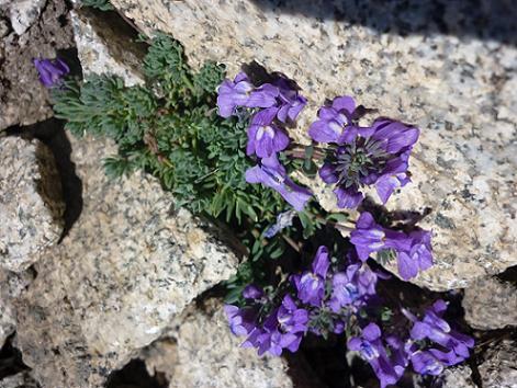 Fleurs à 3000 m, dans la diagonale Sud du pico Russell
