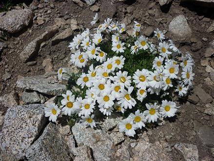 Marguerite des Alpes dans un couloir Sud du pico Russell 3120 m