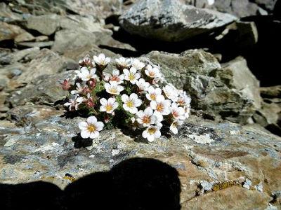 Saxifrage d`Irat (Saxifraga iratiana) sur la crête du pic de Cerbillona (3230 m)