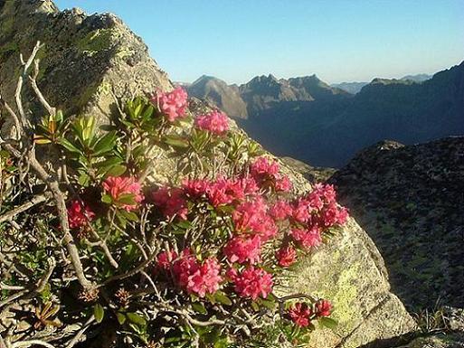 Rhododendrons à 2750 m, sous la crête des Portillons