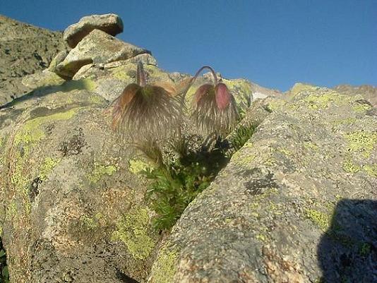 Pulsatilles printanières à 2800 m, face à la Maladeta