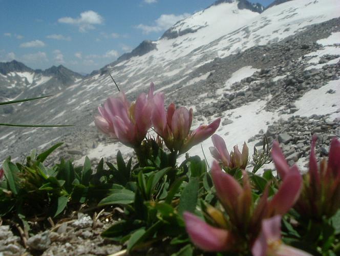 Trèfles des Alpes à 2870 m, sous le Portillon Superior face au pic d Aneto