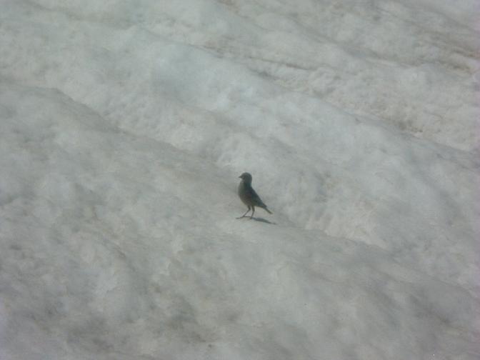 Oiseau sur le glacier d Aneto
