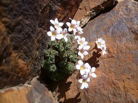 Fleurs au sommet de la Pique Longue du Vignemale