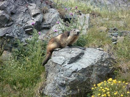 Marmotte dans la vallée d`ossoue