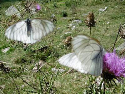 Papillon Gazé ou Piéride de l`aubépine (Aporia crataegi) entre la sapinière de Bédout et le lac Suyen