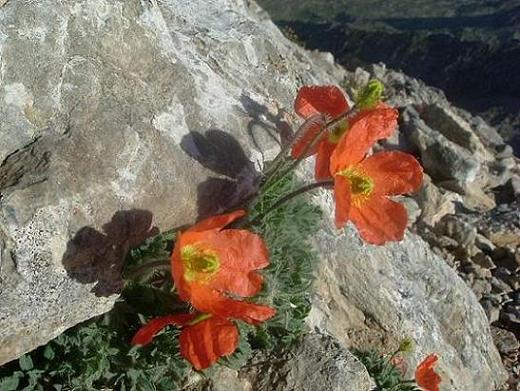 Pavots parfumés ou Pavots oranges des Pyrénées au sommet de la Tuca de las Culebras 3062 m