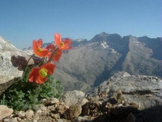 Pavots oranges des Pyrénées au sommet de la Tuca de las Culebras 3062 m, face au pic d Aneto