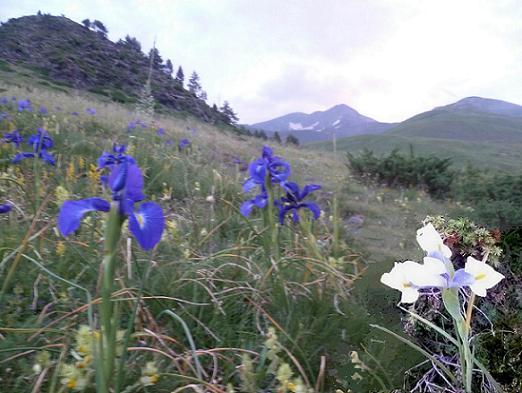A la sortie de la forêt, traversée d`un champ d`iris bleus et blanc en montant vers la cabane de Sarrau