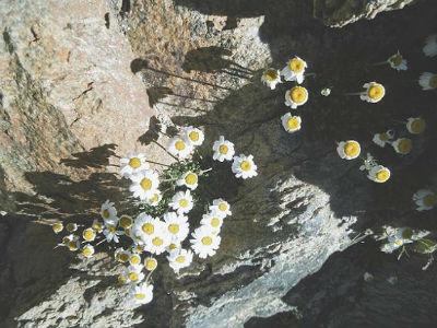 Marguerite des Alpes (Leucanthemopsis alpina), dans la cheminée du Balatous (3120 m)