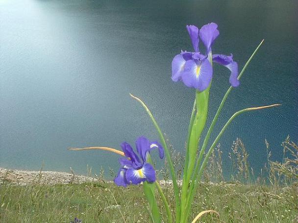 Iris des Pyrénées à 2250 m, Estany de Llauset