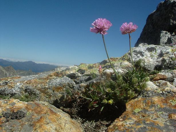 Arméries des Alpes à 3020 mètres, sous le sommet du Besiberri Sud
