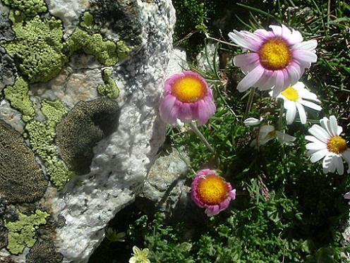 Lichens et fleurs à 3000 m sur la crête Ouest du Besiberri Sud