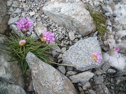 Fleurs au sommet du pic Maubic 3058 mètres