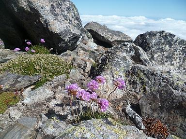 Fleurs, en arrivant au sommet du pic Lézat 3107 m