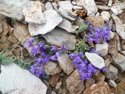 Fleurs dans les éboulis du pic Maubic à 2850 mètres